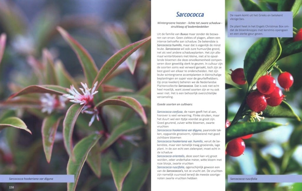 sarcococca links-rechts 1084x689