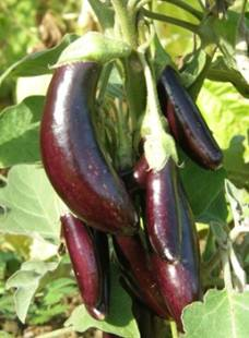 http://www.ecoumene.com/contents/media/aubergine_little_finger.jpg